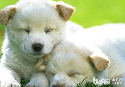 三个月的狗狗从各方面都比较适合新手饲养