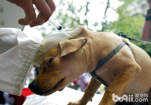 狗狗注射部位起包,可能是进针不完全
