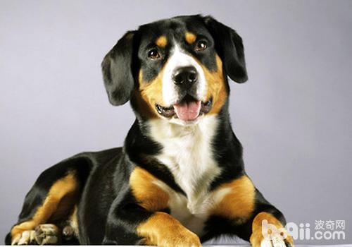 从存活率、易训程度来说三个月左右的狗狗比较合适