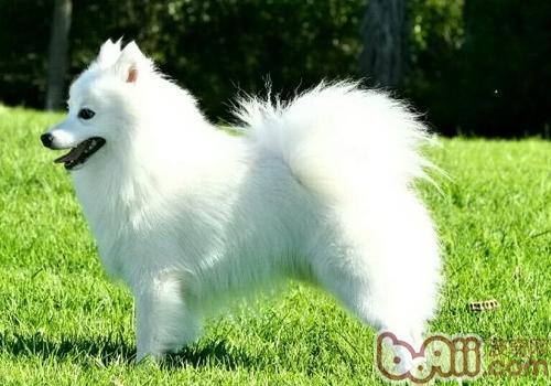 日本尖嘴犬
