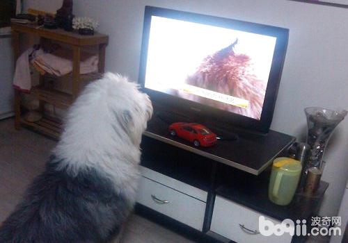 让狗狗看会儿电视兴许能为其解闷