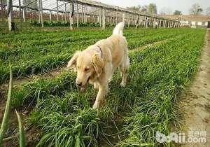 狗狗吃韭菜,狗狗可不可以吃韭菜
