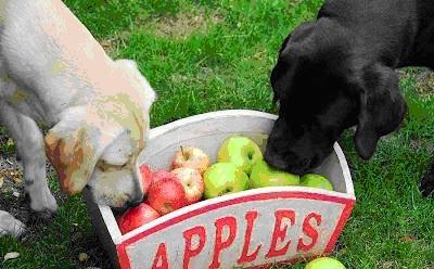 狗狗吃水果,狗狗可以吃的水果种类有哪些