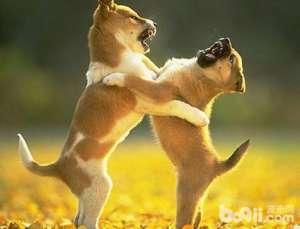 狗狗打架,狗狗打架的原因都有哪些