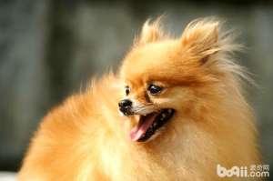 选择优秀博美犬的体型标准