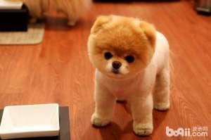 博美犬饲养技巧公开 喂养最可爱的狗狗