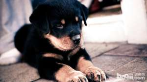 理想中的罗威纳犬应该怎样买