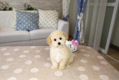 泰迪幼犬日常饮食的注意事项