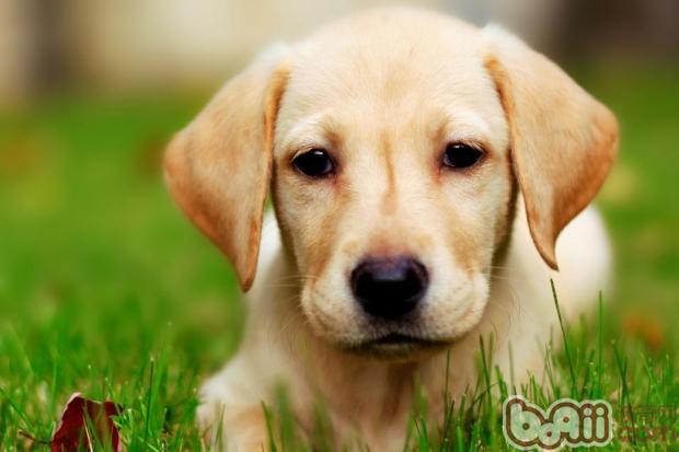 适合喂食拉布拉多幼犬的食物