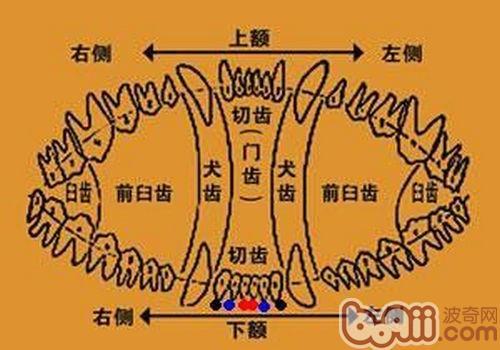 边境牧羊犬幼犬牙齿生长时间表