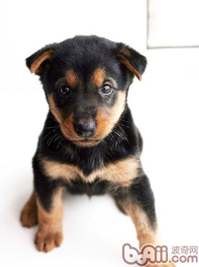 喂养杜宾幼犬的注意事项