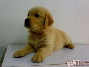 金毛幼犬的饲养护理方法