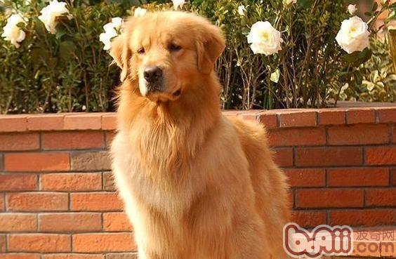 宠物狗频繁抓脸的症状与原因