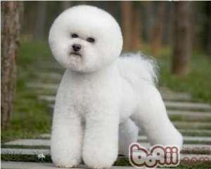 几种常见犬种的美容