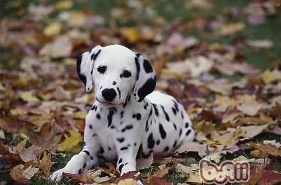 斑点狗平常护理包括哪些内容