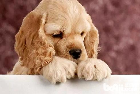 犬瘟热传染人吗