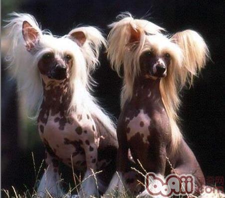 冠毛犬怎么样做美容
