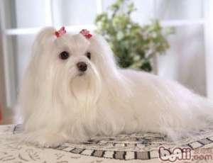 如何给狗狗美毛发毛