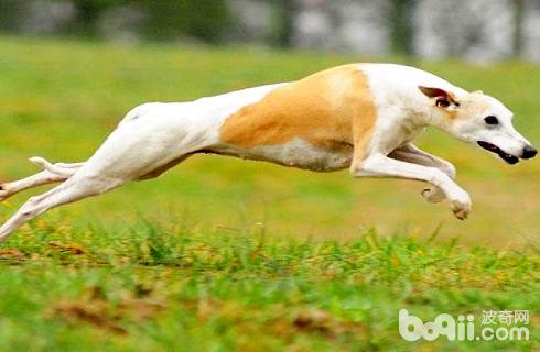 惠比特犬好养吗