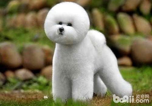 卷毛比熊犬怎么养