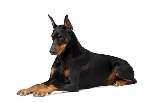 比特犬vs杜高犬