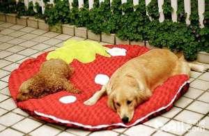 冷知识:大型犬和小型犬寿命哪个长