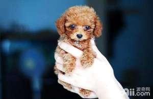 茶杯犬能长多大茶杯犬长不大吗