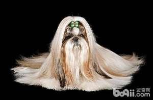 狗狗最2智商排名,你家有没有最傻的狗