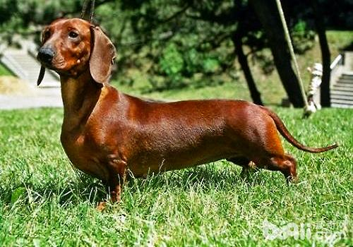 迷你腊肠犬好养吗