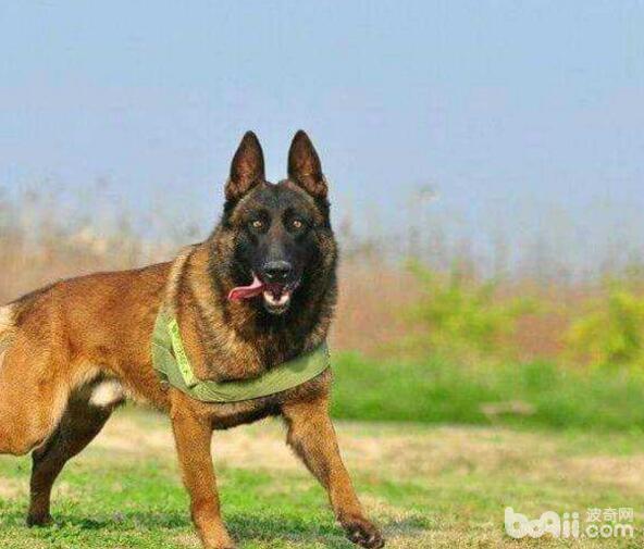 警犬品种有哪些?国内警犬品种介绍