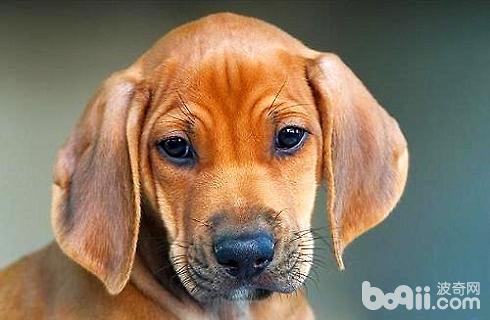 罗得西亚脊背犬怎么样
