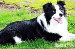 狗狗智商排行榜哪几种狗狗最聪明