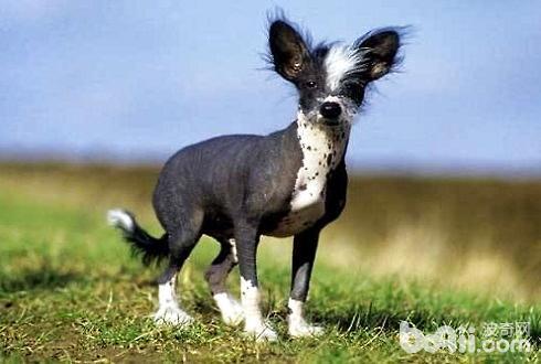中国冠毛犬多少钱一只