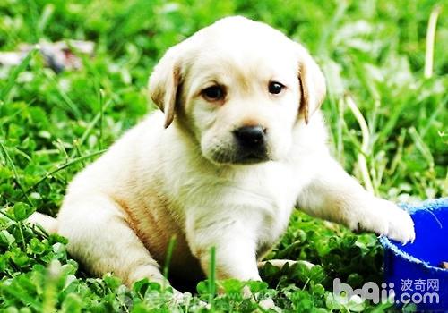 断奶后的幼犬应该喂多少口粮?