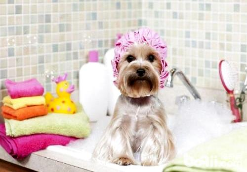 幼犬什么时候可以洗澡?幼犬洗澡注意事项