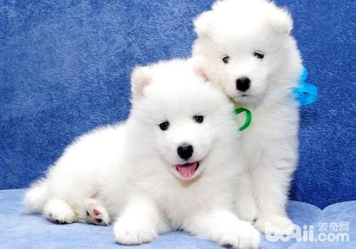萨摩耶幼犬多少钱一只?萨摩耶幼犬怎么饲养