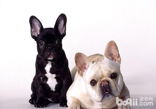 饲养法斗幼犬需要注意的地方都有哪些?