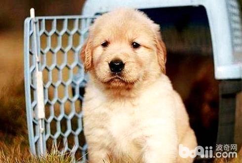 金毛幼犬怎么喂养 金毛幼犬喂养方法介绍
