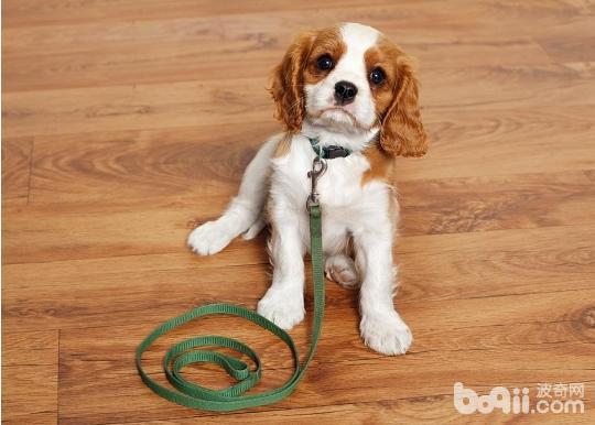 训练狗狗之前都要准备什么?
