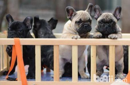 法国斗牛犬的尴尬期和爆头期是什么?