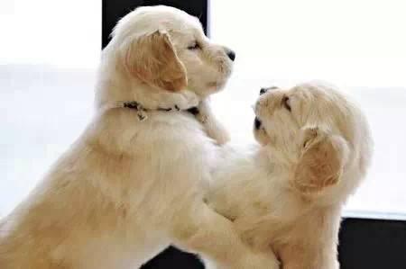 小金毛犬吃什么好,掌握三点养金毛再容易不过
