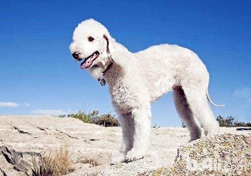 饲养贝灵顿幼犬需要注意的都有什么?
