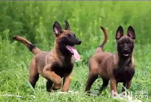 马犬幼犬好养吗 马犬幼犬怎么饲养