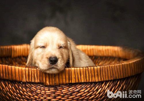 新出生的幼犬宠物主应该如何护理?