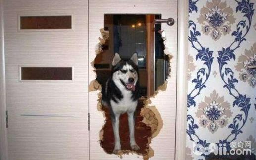 盘点五种最能拆家的狗狗,狗狗拆家