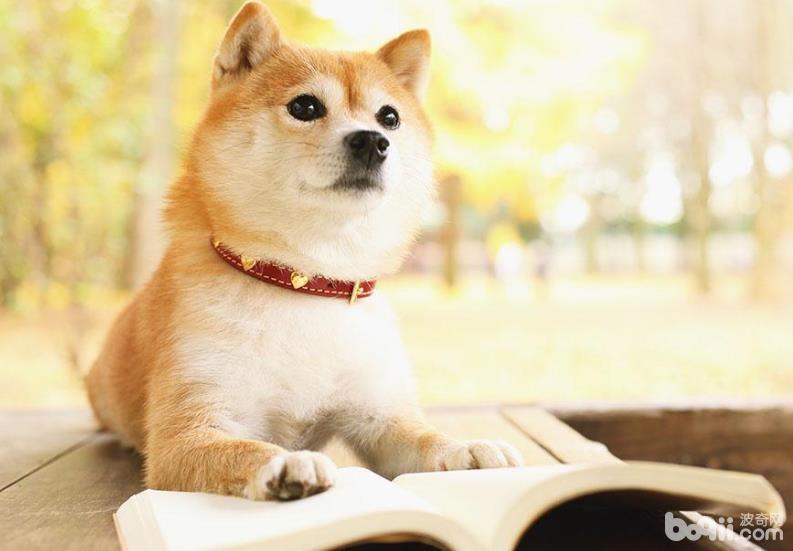 饲养柴犬的注意事项都有哪些?