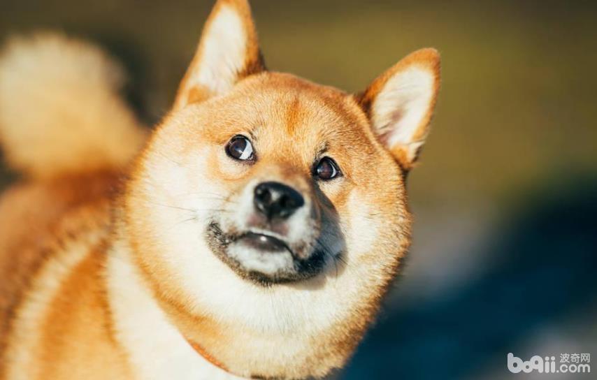 吃什么可以让狗狗毛发柔顺,狗狗毛发的护理方法