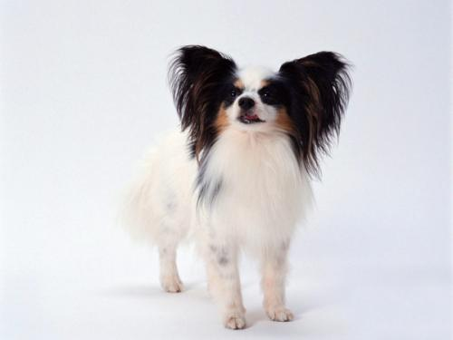 给大家推荐几个适合上班一族既好养,又不容易掉毛的狗狗。