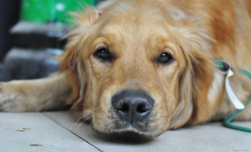 犬瘟热的病因和预防