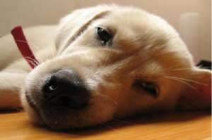 犬瘟热有哪些治疗方法,初期症状有哪些?